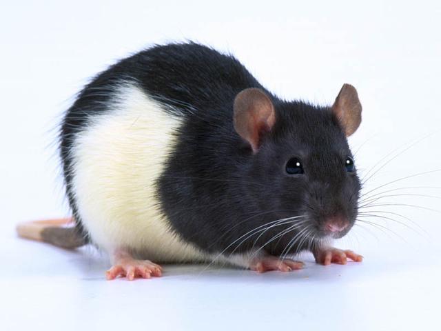 Rat 1743 1