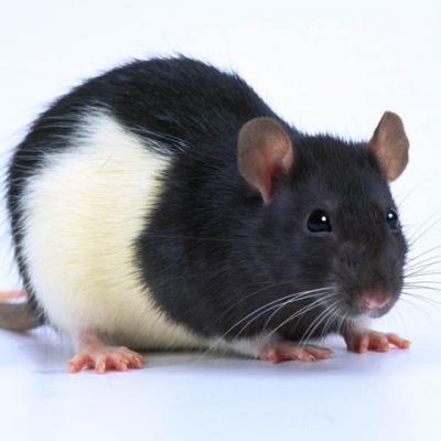 bébé rats 5/12  gr les 10